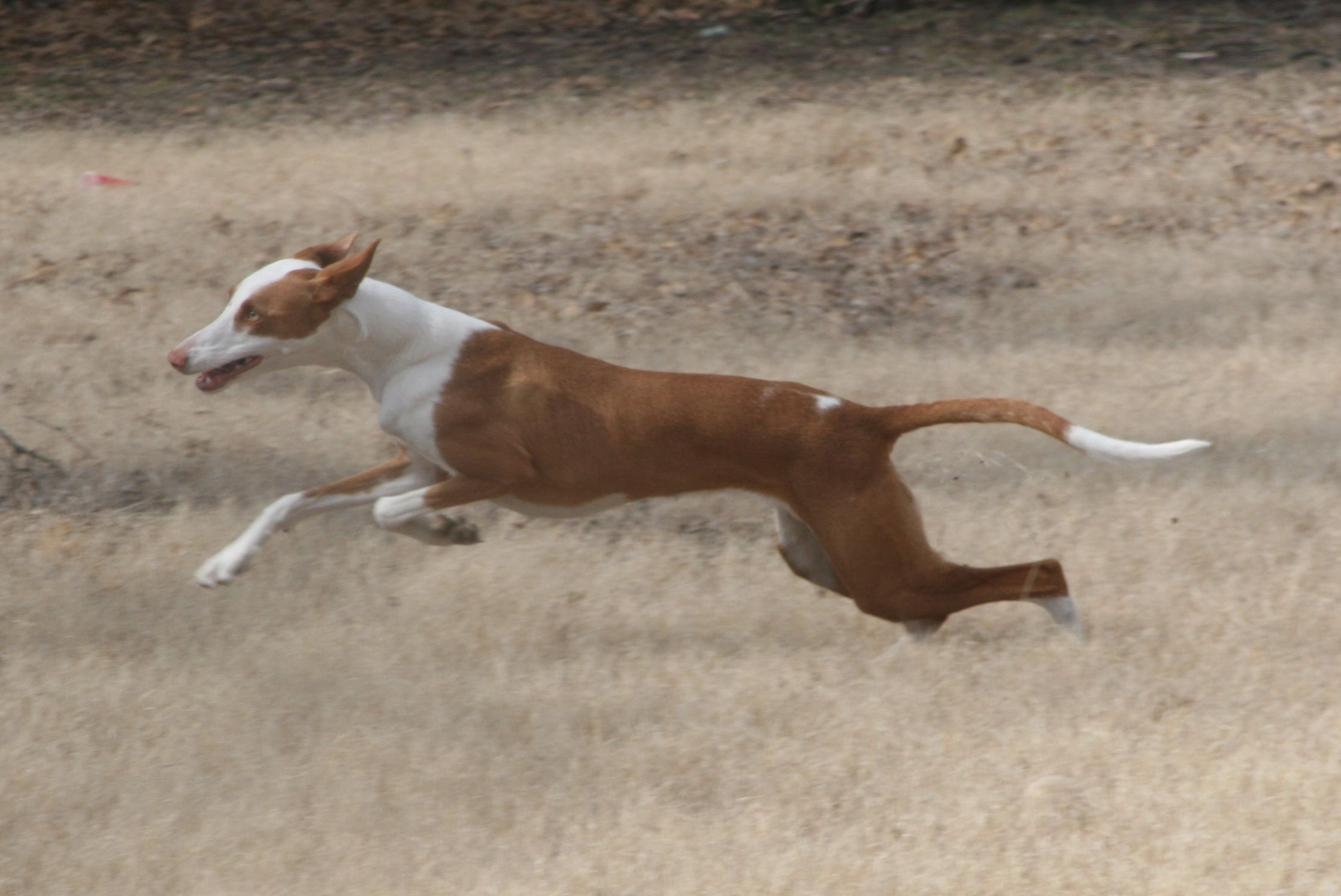 Most often only the negative is addressed in the world of dogs. Ibizan Hound Uk Breeders