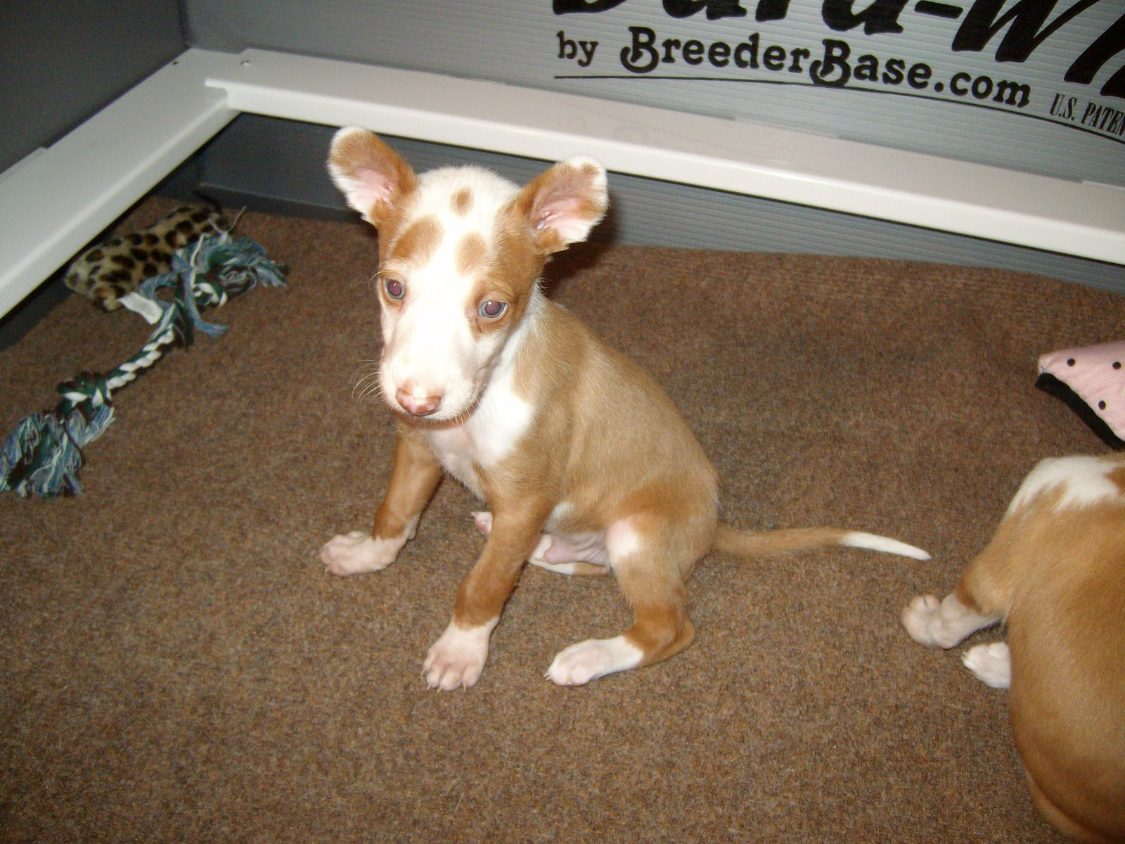 The Puppies - The Adults - The Seniors Ibizan Hound Uk Breeders